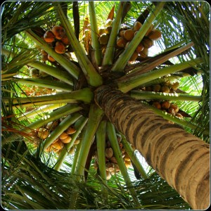 coconut tree canopy